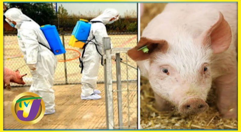 Jamaica on High Alert for African Swine Flu | TVJ Smile Jamaica 1
