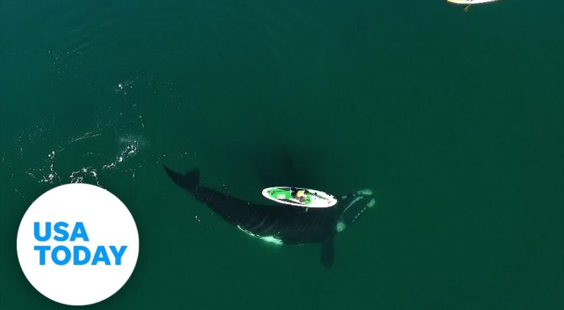 Giant whale surprises paddle boarder with friendly nudge | USA TODAY 5