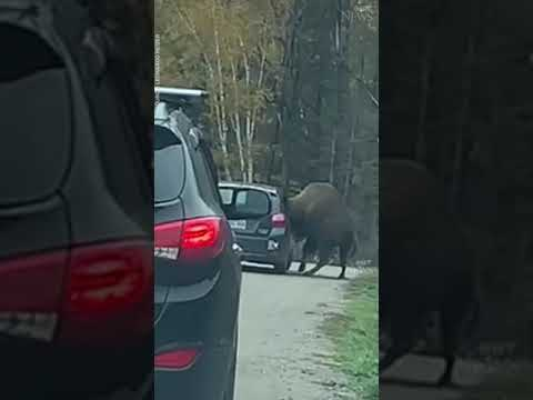 Bison gets head stuck in car window #shorts 7