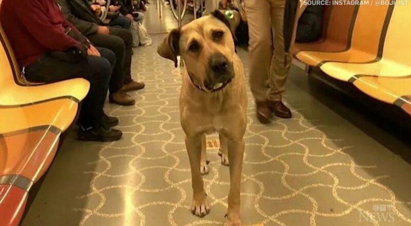 Stray dog using Istanbul public transit gains social media fame 1