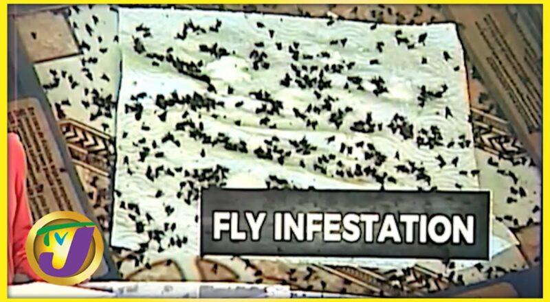 Fly Invasion in Rosen St. Mary Jamaica   TVJ News - Oct 5 2021 1