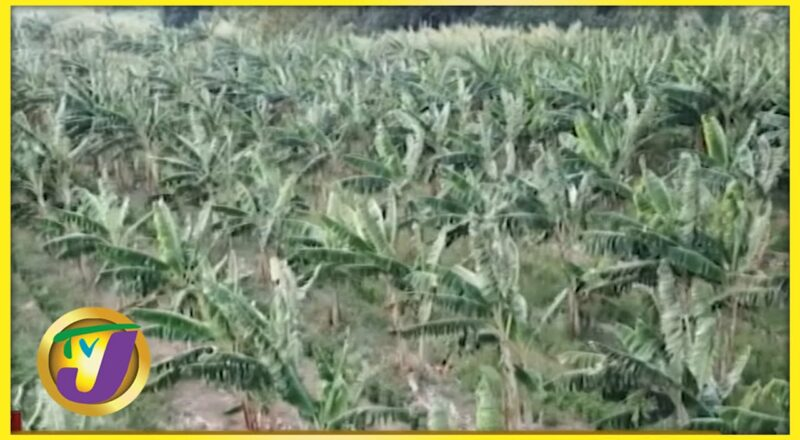 Farmers in Jamaica to Get 15% Discount on Fertilizer | TVJ Business Day - Sept 23 2021 1